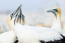 Cape Gannets_©PeterChadwick_AfricanConservationPhotographer.