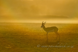 Springbok ram at dawn by Wildlife and Conservation Photographer Peter Chadwick.