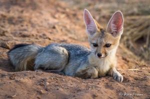 Cape Fox (Vulpes chama) | Kgalagadi National Park