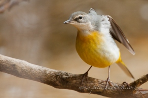 Grey wagtail by wildlife and conservation photographer Peter Chadwick