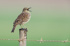 Singing Agulhas Long Billed Lark by wildlife and conservation photographer Peter Chadwick