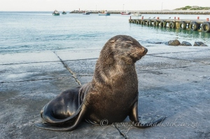 Struisbaai Cape Fur Seal by Wildlife and Conservation Photographer Peter Chadwick.