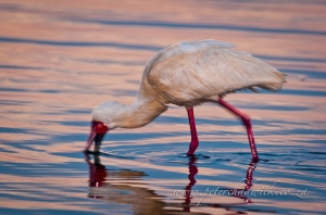 African Spoonbill by wildlife and conservation photographer Peter Chadwick