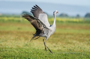 Blue Crane Dancing by wildlife and conservation photographer Peter Chadwick