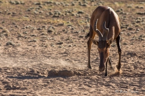 0Red Hartebeest Digging for Minerals