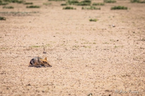 Kgalgadi Black-backed Jackal