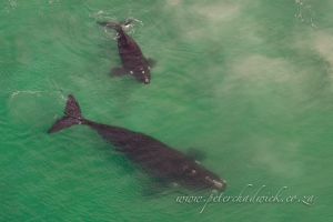 Southern right whale and calf by wildlife and conservation photographer Peter Chadwick