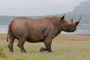 Black Rhino bull by wildlife and conservation photographer Peter Chadwick.