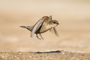 Rock Martin take off by wildlife and conservation photographer Peter Chadwick