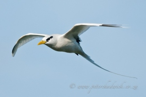 White-Tailed Tropicbird by wildlife and conservation photographer Peter Chadwick