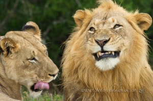 Lion and lioness by wildlife and conservation photographer Peter Chadwick.
