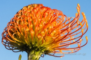 Leucospermum cordifolium by wildlife and conservation photographer Peter Chadwick