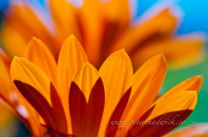 Namaqua daisy petals by wildlife and conservation photographer Peter Chadwick