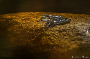 A Cape River Frog Sits In A Fynbos Stream | Wildlife Photography| Harold Porter Botancical Garden | ©Arne Purves