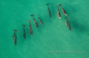 Humpbacked Dolphin pod by wildlife and conservation photographer Peter Chadwick