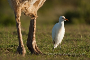 cattle egret following ostrich by wildlife and conservation photographer peter chadwick