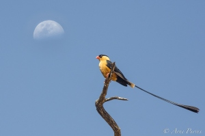 Shafttailed Whydah and Moon | Nossob Camp | Kgalagadi Transfrontier Park | © Arne Purves