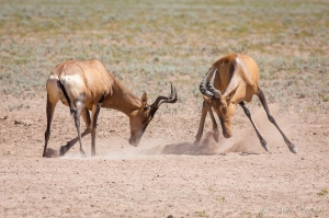 Red Hartebeest Tussle At A Salt Lick | Kgalagadi Tranfrontier Park | © arne purves