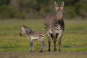 Cape Mountain Zebra mother and foal by wildlife and conservation photographer Peter Chadwick