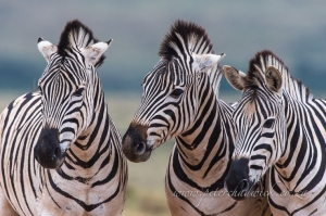 Burchelles Zebra stallion trio by wildlife and conservation photographer Peter Chadwick