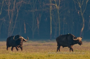 Cape Buffalo at Nakuru by wildlife and conservation photographer Peter Chadwick.
