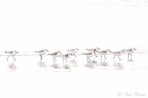 A flock of Sanderlings ©Arne Purves
