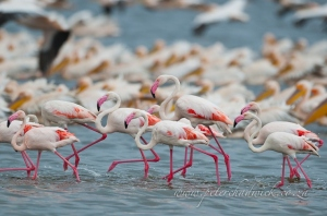 Lesser flamingos by wildlife and conservation photographer Peter Chadwick