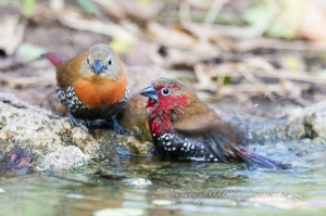 Red-Throated Twinspots Bathing by wildlife and conservation photographer Peter Chadwick