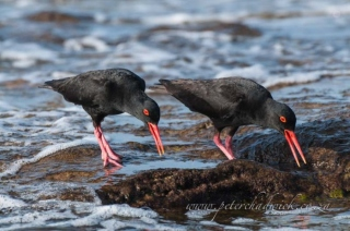 african black oystercatcher pair calling by wildlife and conservation photographer Peter Chadwick