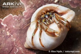 Common-hermit-crab-in-shell ©Alex Hyde | ARKive