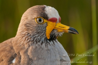 african wattled lapwing by wildlife and conservation photographer Peter Chadwick.jpg