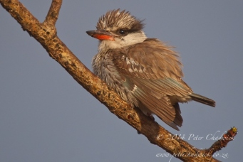 striped kingfisher by wildlife and conservation photographer Peter Chadwick.jpg