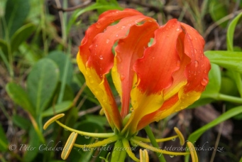flame lilly by wildlife and conservation photographer peter chadwick.
