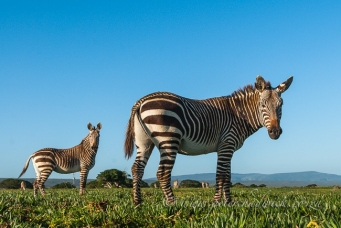 cape mountain zebra feeding in figs by wildlife and conservation photographer Peter Chadwick