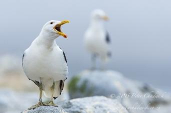 Kelp Gull_©PeterChadwick_AfricanConservationPhotographer.jpg