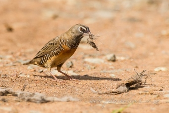 Male Quail Finch by wildlife and conservation photographer Peter Chadwick