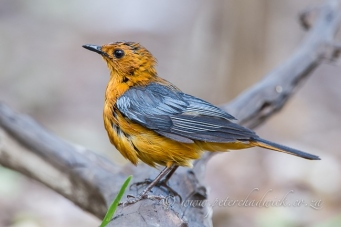 red capped robin chat by wildlife and conservation photographer Peter Chadwick.jpg