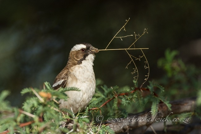 White-Browed Sparrow Weaver by Wildlife and Conservation Photographer Peter Chadwick.