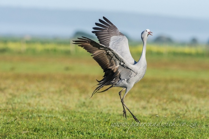 Danicing blue crane by wildlife and conservation photographer Peter Chadwick