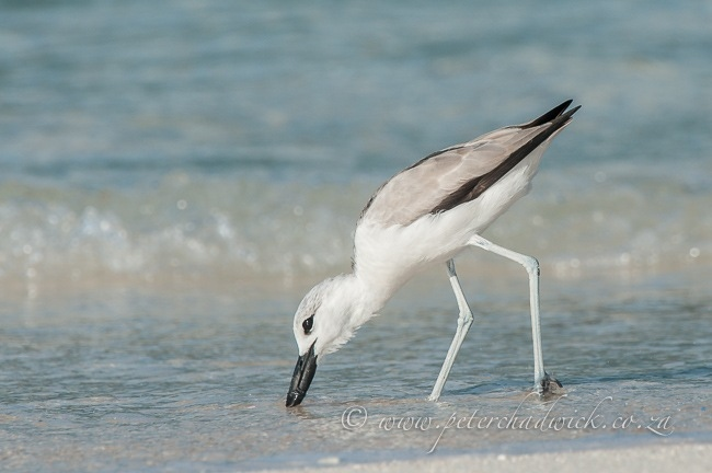 Feeding Crab Plover by wildlife and conservation photographer Peter Chadwick.
