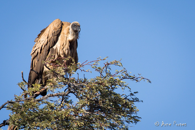 White-backed Vulture | Kgalagadi | © Arne Purves