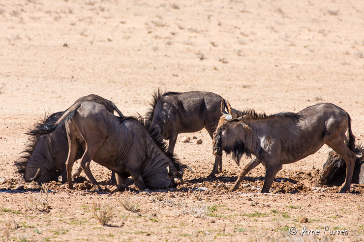 Wildebees | Kgalagagi | © Arne Purves