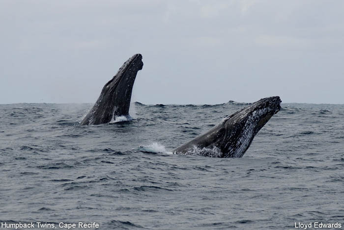 Humpback Twins - Cape Recife - Photographic Destinations Port Elizabeth