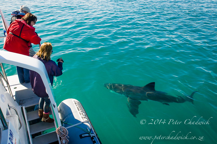 Great White Shark tourism by wildlife and conservation photographer Peter Chadwick