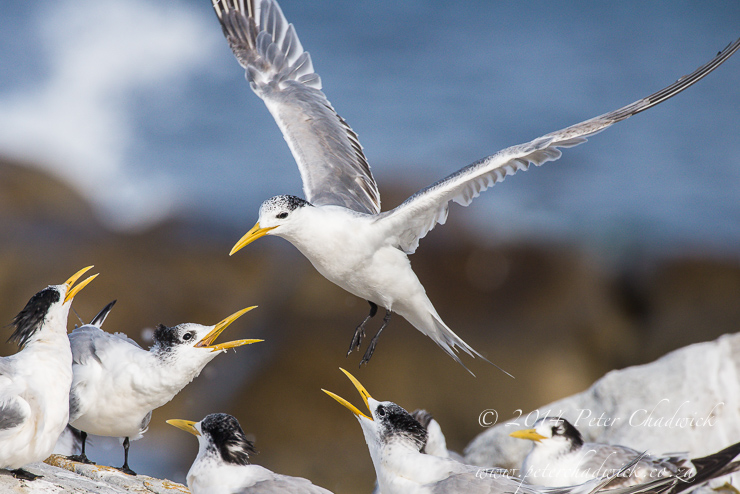 Swift Tern flock by wildlife and conservation photographer Peter Chadwick