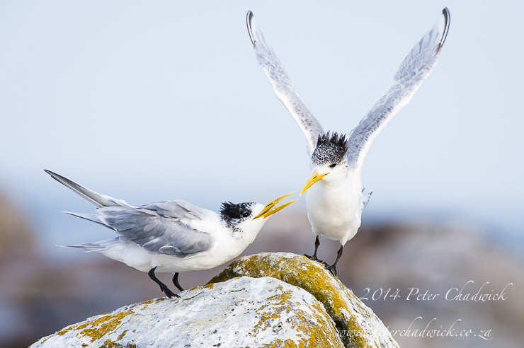 Swift Terns landing by wildlife and conservation photographer Peter Chadwick