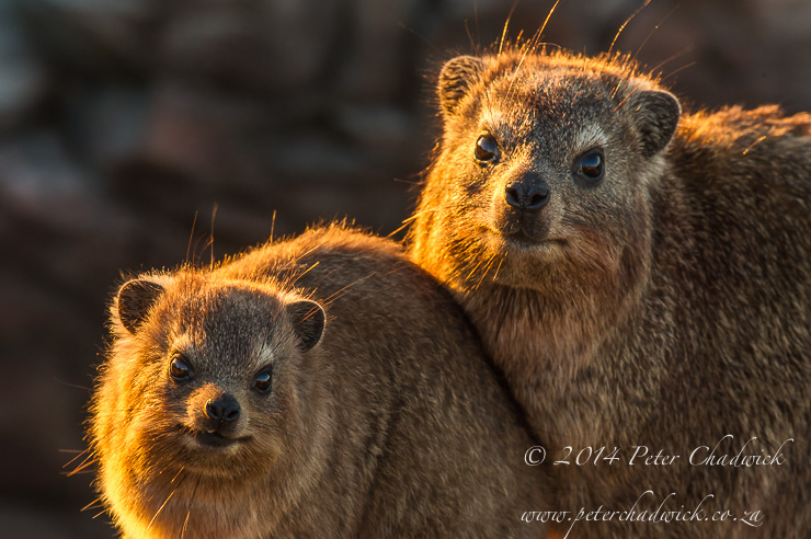 Rock Hyrax mother and young by wildlife and conservation photographer Peter Chadwick