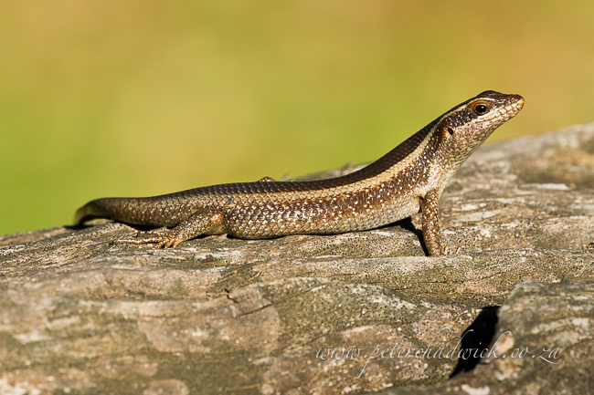 striped skink by wildlife and conservation photographer Peter Chadwick.