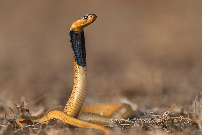 Cape cobra by wildlife and conservation photographer Peter Chadwick