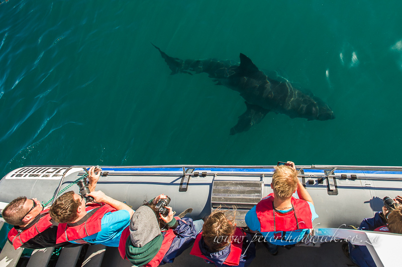tourists watching a great white shark by wildlife and conservation photographer Peter Chadwick